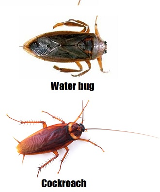 waterbug v cockroach 1